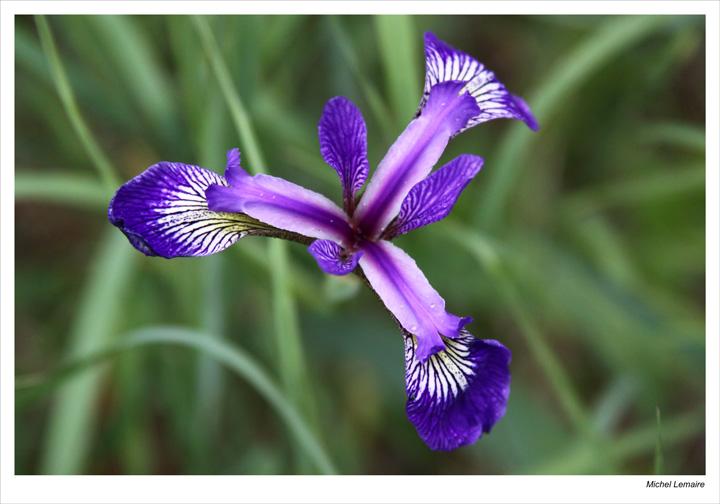 Iris-16w.jpg