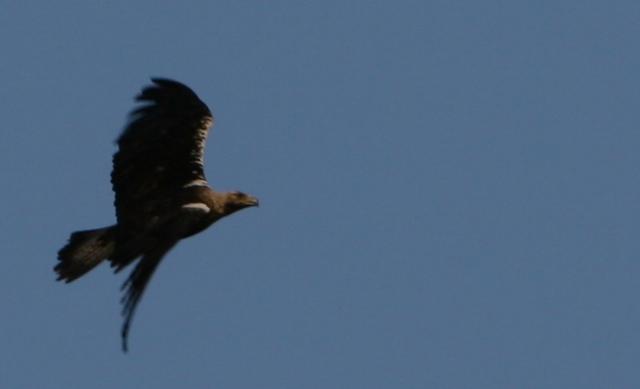 Spanish Imperial Eagle - Aquila adalbertii - Aguila Imperial iberica - Àguila Imperial Ibèrica