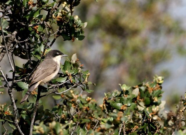 Western Orphean Warbler - Syvlia hortensis - Curruca mirlona - Tallarol Emmascarat