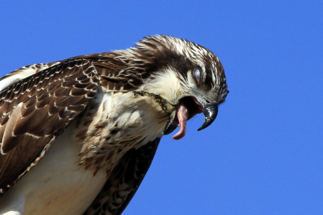 Osprey with a fish bone stock in its throat - Pandiona haliaetus - Águila pescadora - Àguila peixatera
