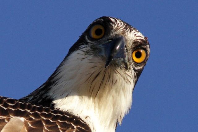Osprey facing and looking strait back - Pandiona haliaetus - Águila pescadora - Àguila peixatera