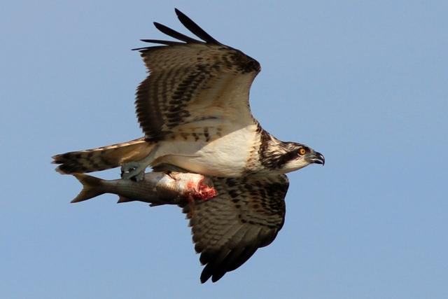 Osprey flying and carrying a fish - Pandiona haliaetus - Águila pescadora - Àguila peixatera