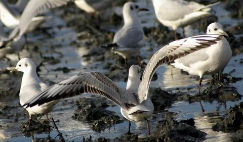 Black-headed Gull - Larus ridibundus - Gaviota reidora - Gavina riallera