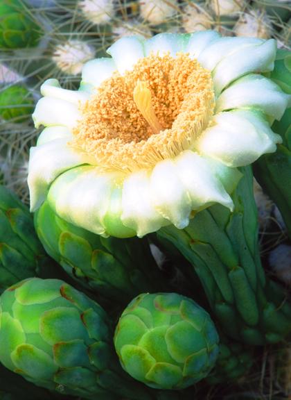 (C4) Saguaro, AZ