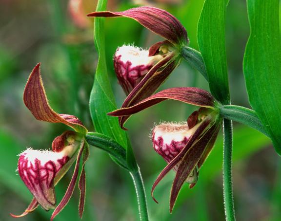 (O19) Rams-head orchid, Ridges Sanctuary, Door County, WI