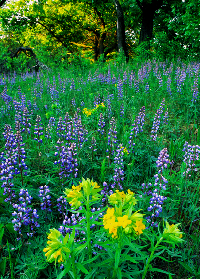 (MW16) Lupines and pucoon, Illinois Beach S.P., IL