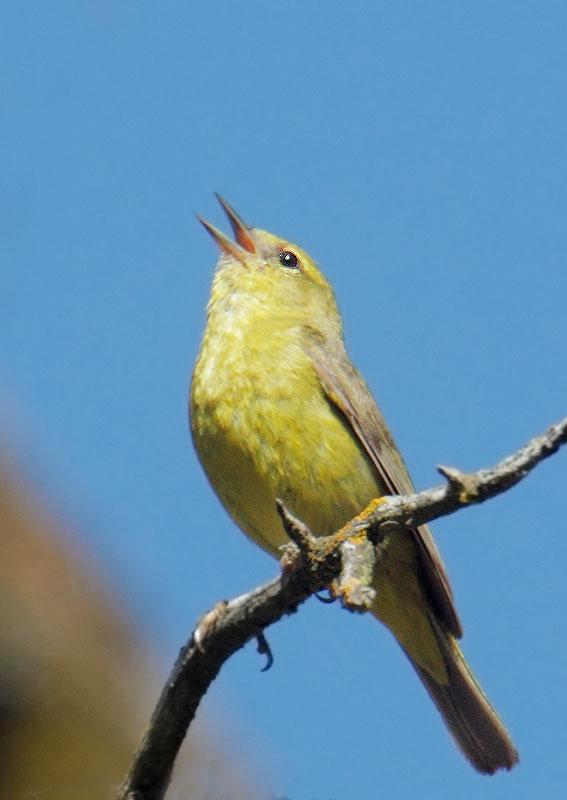 Orange-crowned Warbler, singing male