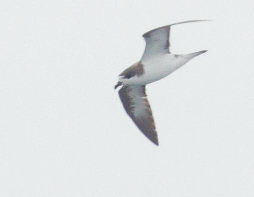 Hawaiian Petrel