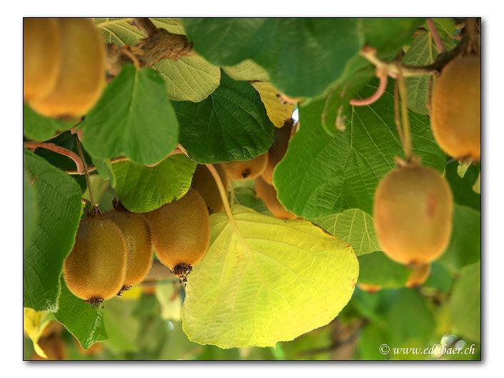 Kiwi - kiwi fruit (9004)