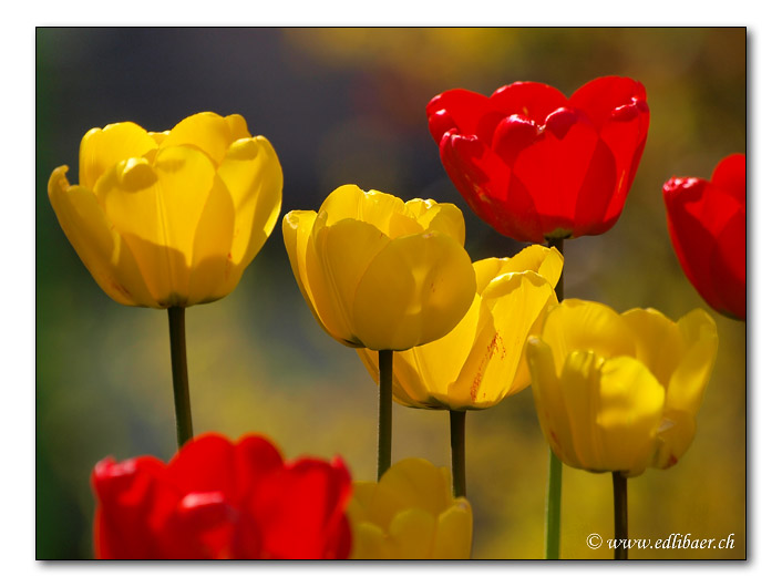 Tulpen / Tulipa gesneriana / tulips  (4030)