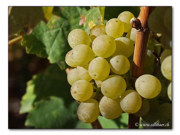 Sweet grapes / Süsse Trauben
