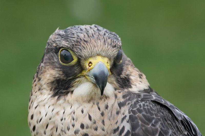 Barbary Falcon (Captive)
