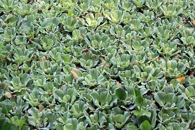 A lake of lettuce