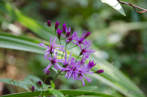 Common Ironweed - Vernonia angustifolia