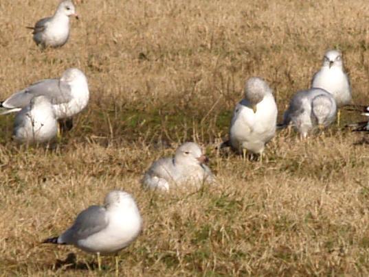 Glaucous Gull - 12-25-08 - 1st yr Shelby Farms -