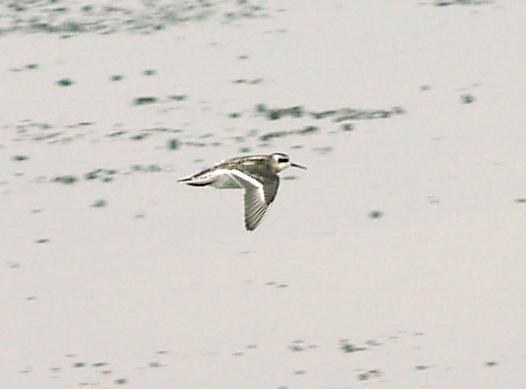 Red-necked Phalarope - 9-6-08 Juv. in flight