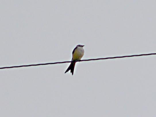 Western Kingbird - hybrid female 5-3-09 Frayser