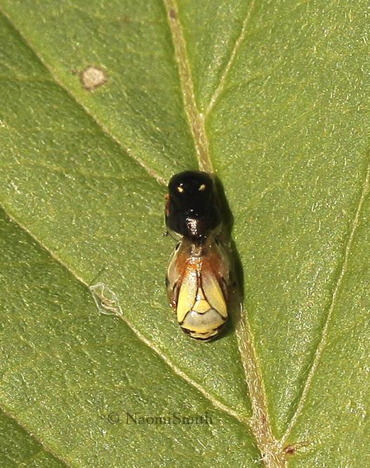 Clastoptera proteus mating  JL9 #0816