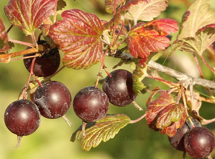 Gooseberries JL9 #3555