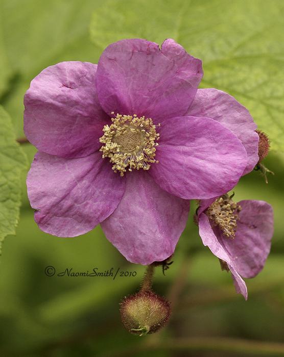 Purple Flowering Raspberry JN10 #6805