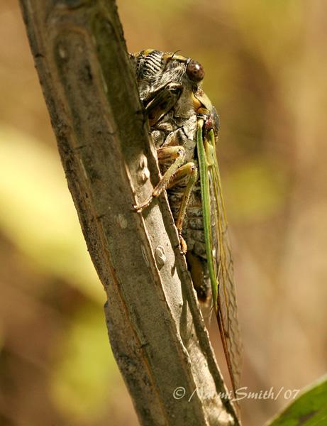 Dog Day Cicada S7 #4013