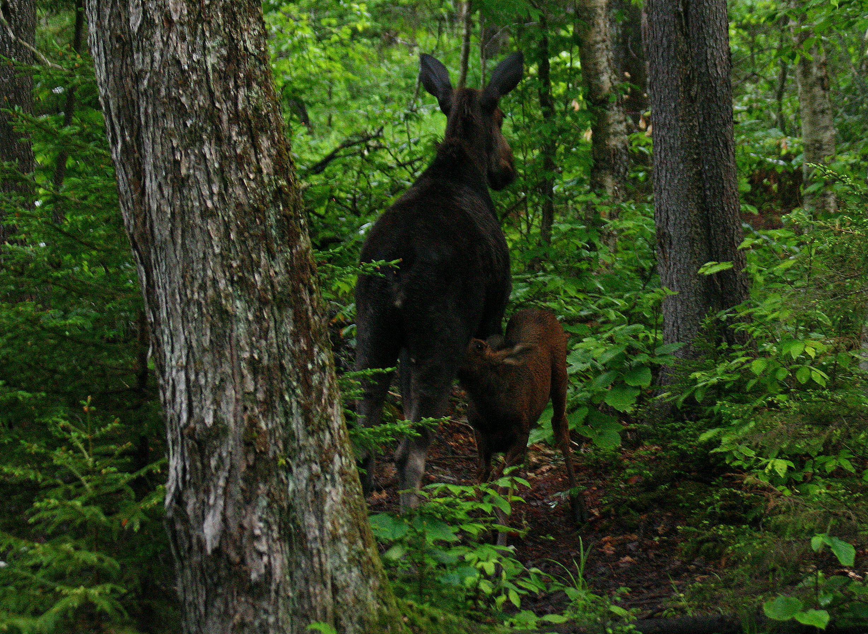 Nursing Moose (b)