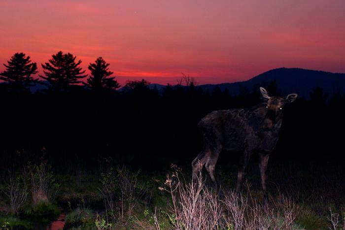 Bull Moose at Sunset in Spring
