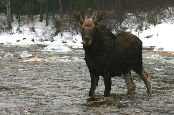 Calf Bull Moose Fording the Swift River (c)