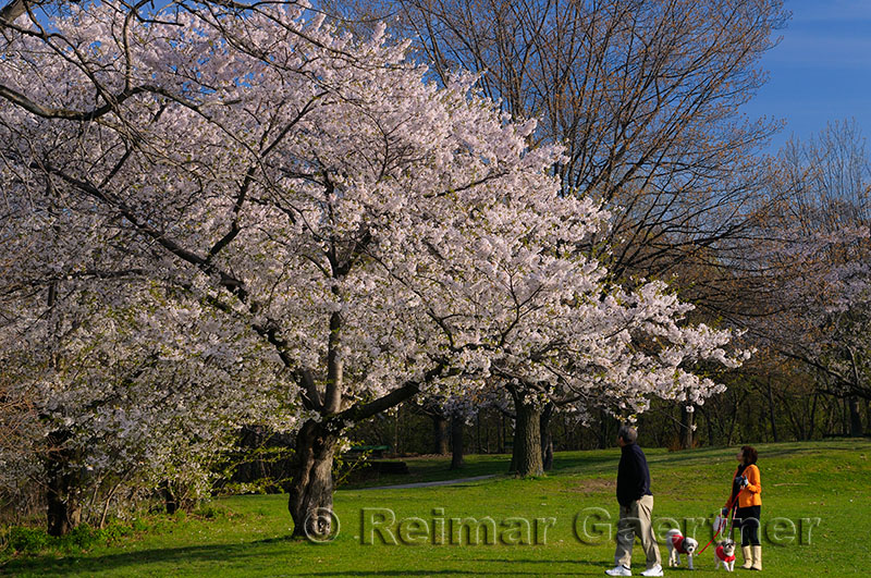 198 Blooming Cherry Tree.jpg