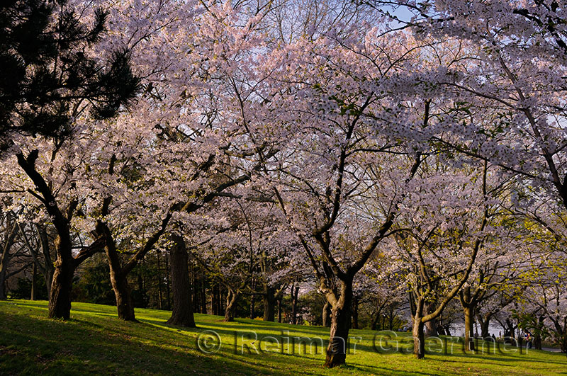 198 Blooming Cherry Trees.jpg