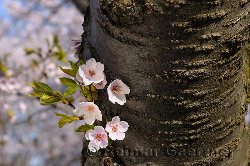 198 Cherry Tree Blossoms 2.jpg
