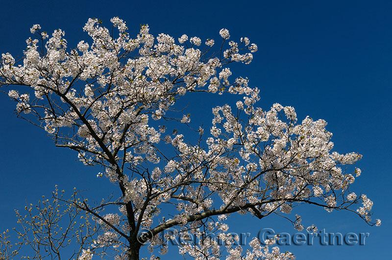 198 Cherry Tree Blossoms 3.jpg