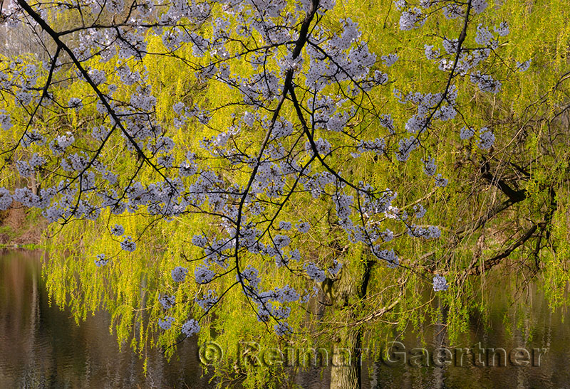 198 Willow and cherry blossom 1.jpg