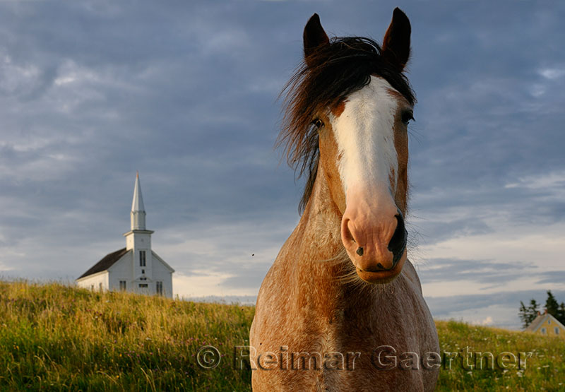 Close up of curious Clydesdale horse at Highland Village Museum at Iona Cape Breton
