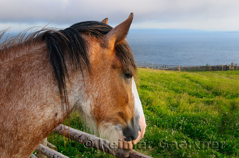 Pensive Clydesdale horse at fence over Bras dOr Lake from Highland Village Museum Iona NS