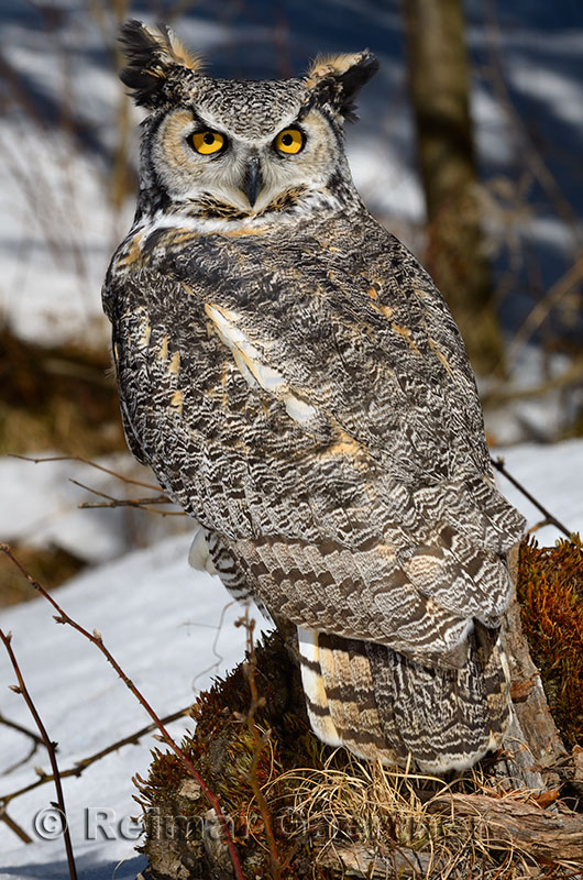267 Great horned Owl 1.jpg