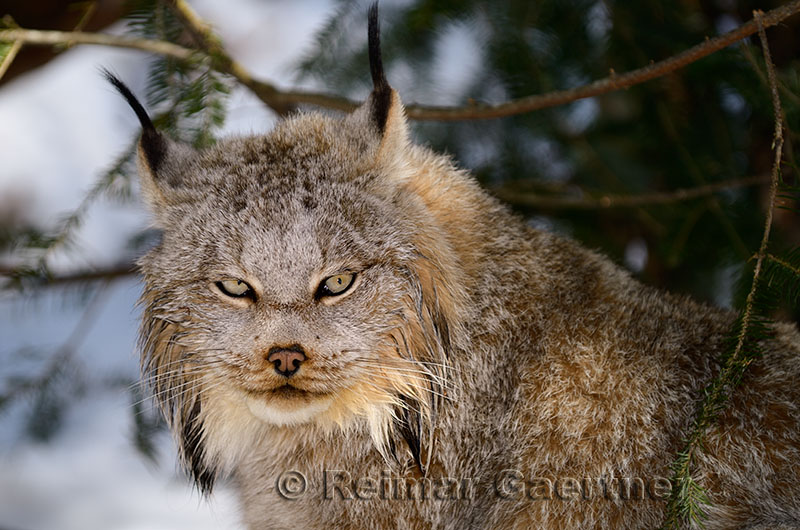 267 Lynx 3.jpg