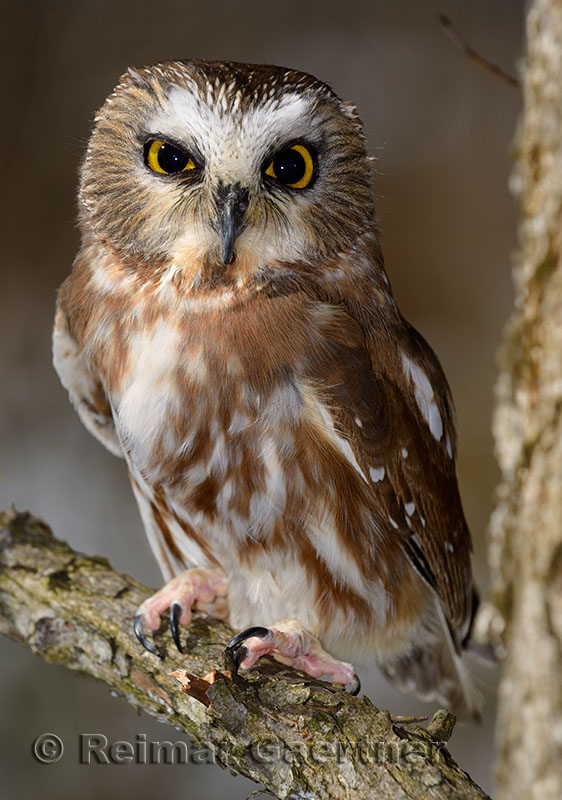 267 Northern Saw-whet Owl 3.jpg