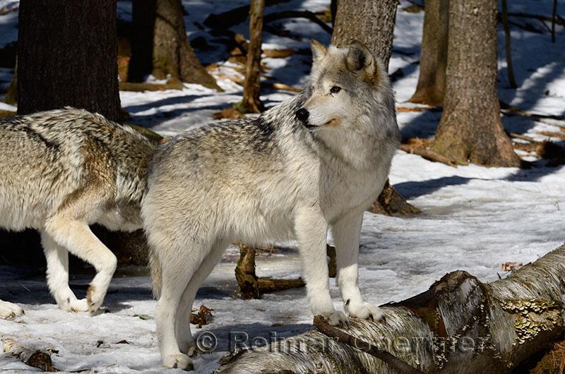267 Wolf 7.jpg