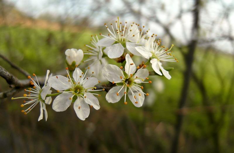petites fleurs blanches