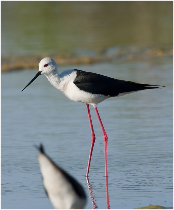 Black - winged Stilt