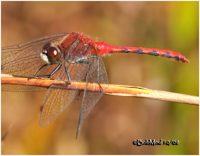 White-faced Meadowhawk-Male 10/14/2008