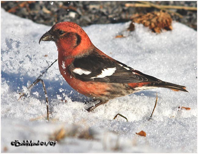 White-winged Crossbill-Male