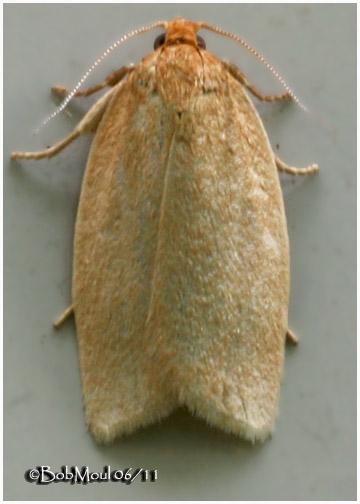<h5><big>Clemens Clepsis Moth<br></big><em>Clepsis clemensiana #3684</h5></em>