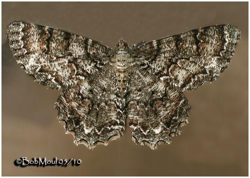 <h5><big>Tulip-tree Beauty Moth<br></big><em>Epimecis hortaria #6599</h5></em>
