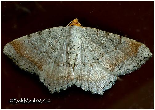 <h5><big>Minor Angle Moth <br></big><em>Macaria minorata #6340</h5></em>