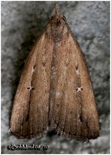 <h5><big> Bronzy Macrochilo Moth<br></big><em>Macrochilo orciferalis  #8360</h5></em>