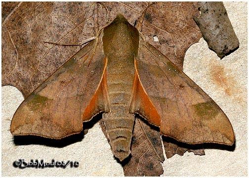 <h5><big>Virginia Creeper Sphinx Moth<br></big><em>Darapsa myron #7885</h5></em>