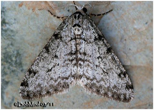 <h5><big><em>Small Phigalia Moth-<br></big><em>Phigalia strigataria #6660</h5></em></h5>