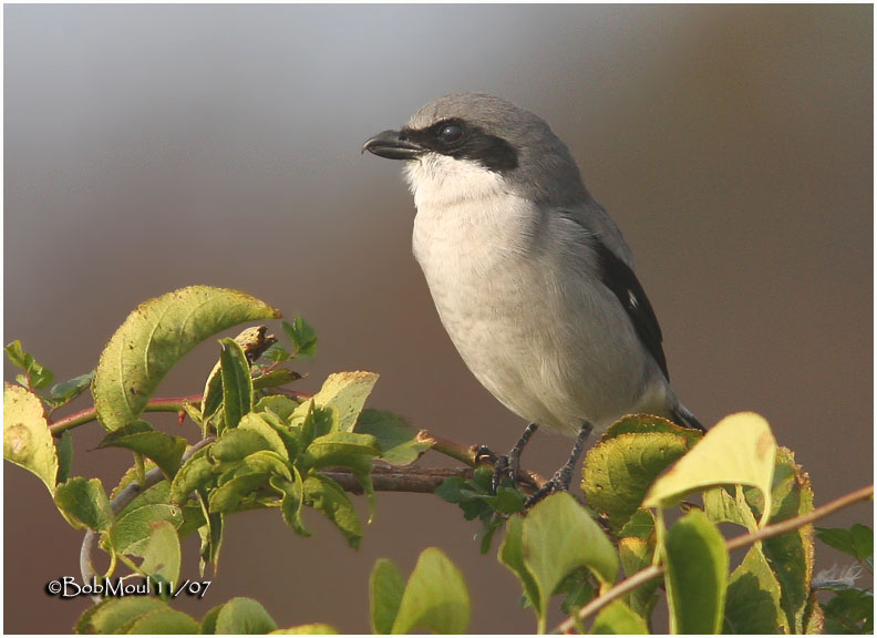 Loggerhead Shrike-November 2007